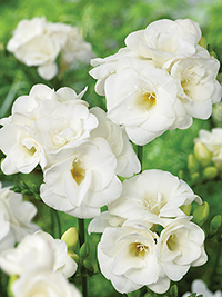 Freesia Virginia