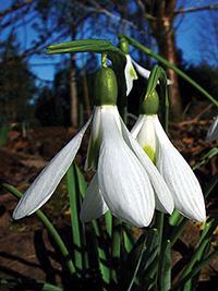 Galanthus Atkinsiae