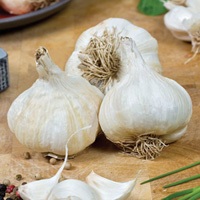 Printanor Garlic