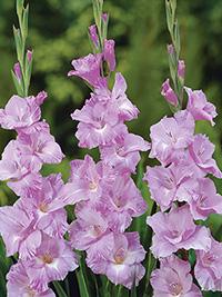 Gladiolus Alpha