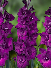 Gladiolus Astarte