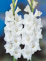 Gladiolus Bangladesh