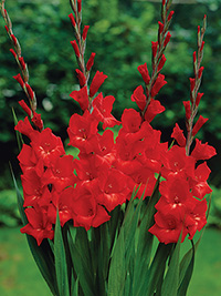 Gladiolus Belladonna