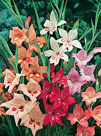 Gladioli Nanus Collection - 5 bulbs each of 7 varieties