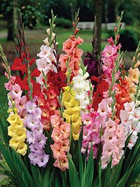 Gladiolus Rainbow Blend