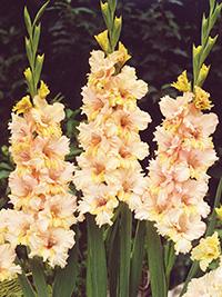 Gladiolus Sacramento Ruffle