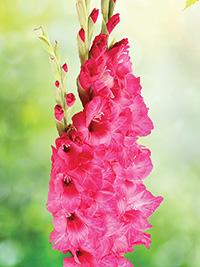 Gladiolus Summer Scorcher Pink