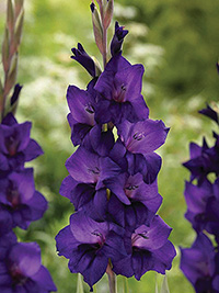 Gladiolus Summer Scorcher Purple