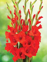 Gladiolus Summer Scorcher Red