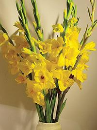 Gladiolus Summer Scorcher Yellow