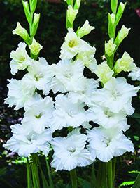 Gladiolus Tarantella