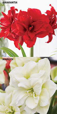 Hippeastrum Potted - carton of two doubles, FREE SHIPPING