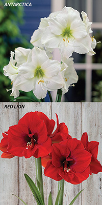 Hippeastrum Potted - carton of two singles, FREE SHIPPING