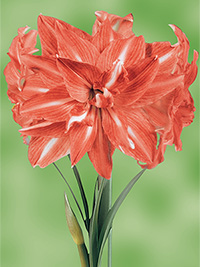Double Hippeastrum Andes