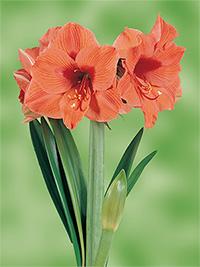 Standard Hippeastrum Apricot Beauty