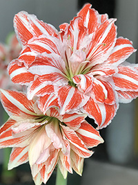 Double Hippeastrum Dancing Queen