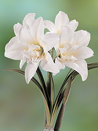 Double Hippeastrum Jewel