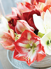 Hippeastrum Mixture - MEDIUM, PACK OF 10