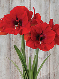 Standard Hippeastrum Red Lion