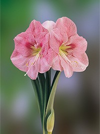 Hippeastrum Spring Time