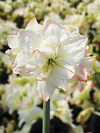 Double Hippeastrum White Nymph