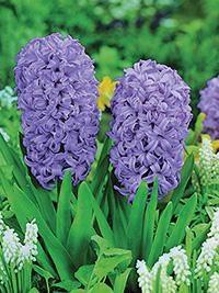 Hyacinth Amethyst