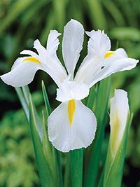 Dutch Iris Alaska