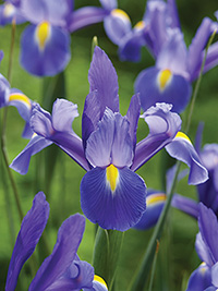 Dutch Iris Chopin