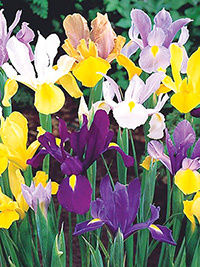 Dutch Iris Collection - 5 bulbs each of 8 varieties