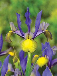 Dutch Iris Miss Saigon