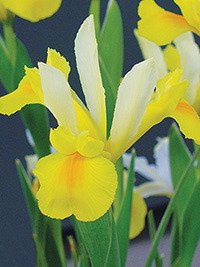 Dutch Iris Montecito