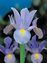 Dutch Iris Shanghai