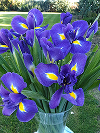 Dutch Irises - 10 assorted bunches