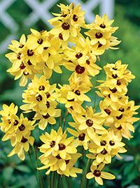 Ixia Yellow Emperor