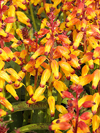 Lachenalia Pearsonii - Pack of 3