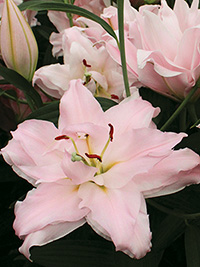 Double Oriental Lily Amistad