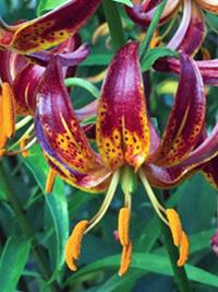 Species Lily Arabian Knight