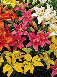 Asiatic Lily Mix