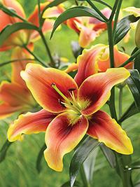 AOA Hybrid Lily Avalon Sunset