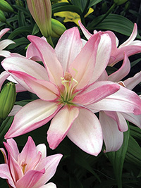 Double Asiatic Lily Bentley