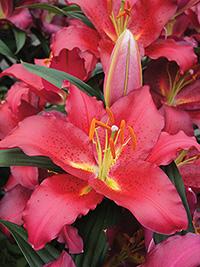 Oriental Lily Camargue