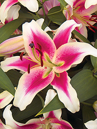 OT Hybrid Lily Candy Club