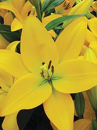 LA Hybrid Lily Cevennes