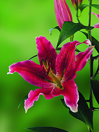 Oriental Lily Chartwell