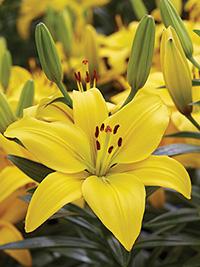 Pot Asiatic Lily Classic Joy