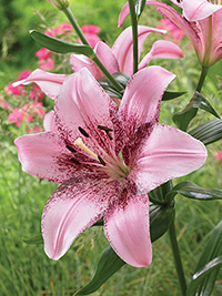 Asiatic Lily Cogoleto