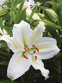 Oriental Lily Crystal Blanca