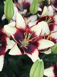 Pot Asiatic Lily Curitiba