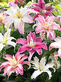 Lily Double Oriental Mix - 10 BULBS
