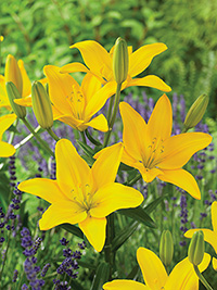 Asiatic Lily Easy Sun